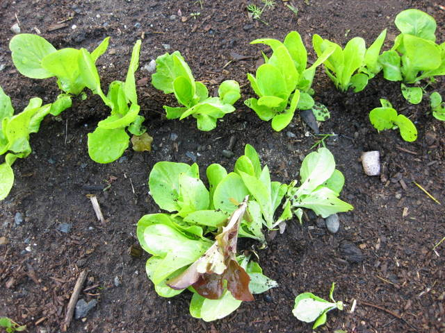 Growing Lettuce Stages Plant lettuce seeds fairlyLettuce Growing Stages