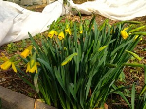 Row covers removed from beds in the hoop house on March 16 revealed daffodils in bloom!