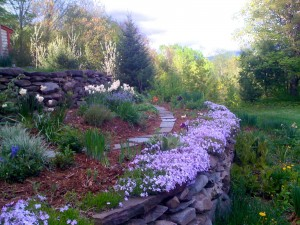Freshly mulched perennials,bordered by creeping phlox,between showers in May.